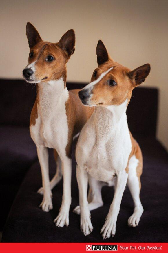 Basendžių veislės šunys