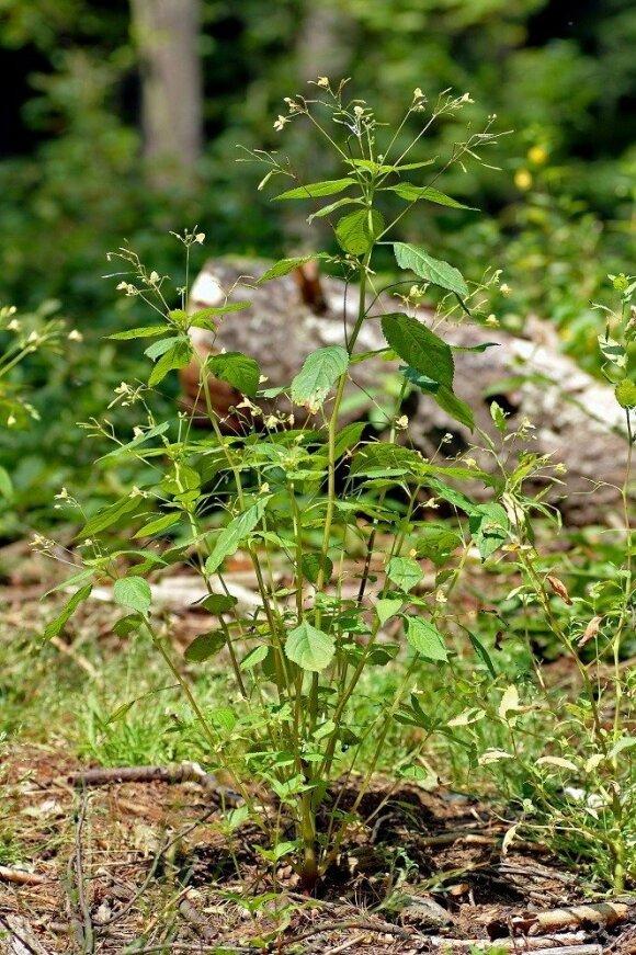 Smulkiažiedė sprigė (Impatiens parviflora)