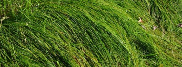 Smiltyninė viksva - dažnas smėlingų ir sausų vietų augalas, savaime augantis pajūryje, jį galima auginti gėlynuose.