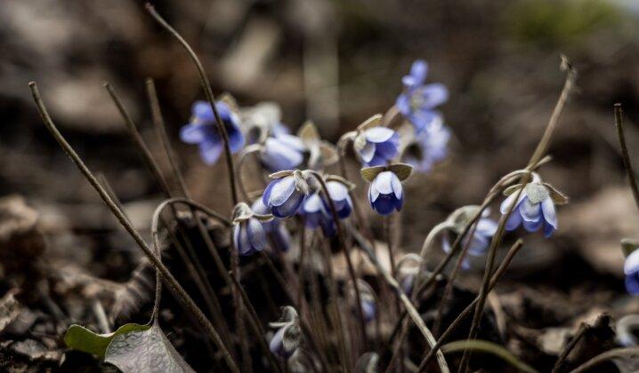 Neišeidami iš namų pasigrožėkite reto grožio vaizdais: miškuose mėlynuoja žibutės