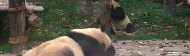 """""""Slaptas pandų gyvenimas"""" (XXXIV): sumo ir bandymai atkreipti mamos dėmesį"""