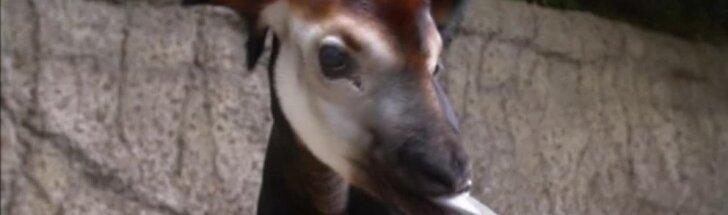San Diego zoologijos sode pasaulį išvydo okapijos jauniklis