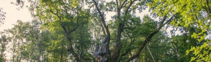 Stelmužės ąžuolas