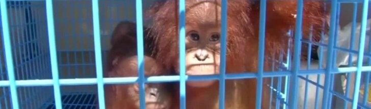 Du kontrabanda gabenti orangutaniukai priglausti Tailando laukinių gyvūnų centre