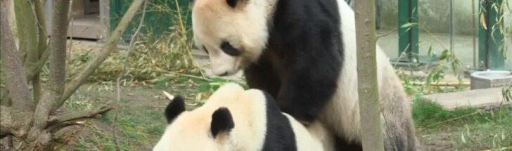 Zoologijos sode Vienoje gyvenančios pandos neatsispyrė gamtos šauksmui