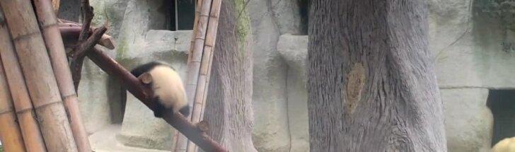 Slaptas pandų gyvenimas: mokosi laipioti ir ginti teritoriją