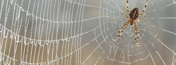10-mečiui įkando bate vienas nuodingiausių vorų: tolesni veiksmai primena veiksmo filmą