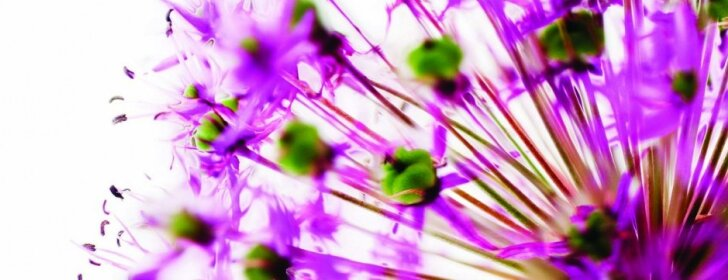 Dekoratyviniai česnakai: nuo pavasario iki rudens