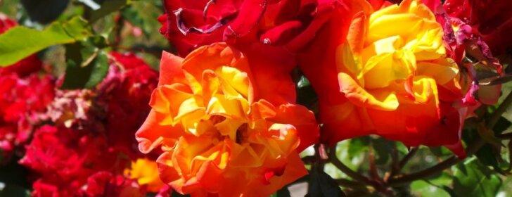 Rožių nudengimas ir pavasarinis genėjimas