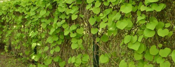 Vijoklinis augalas, kuris idealiai tinka gyvatvorėms