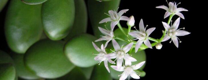 5 lietuvių mėgstamiausios kambarinės gėlės