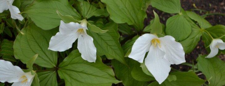 Puošnios gėlės, kurios mėgsta pavėsį