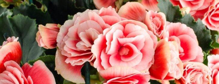 Gėlė, kuri savo žiedais džiugins visus metus