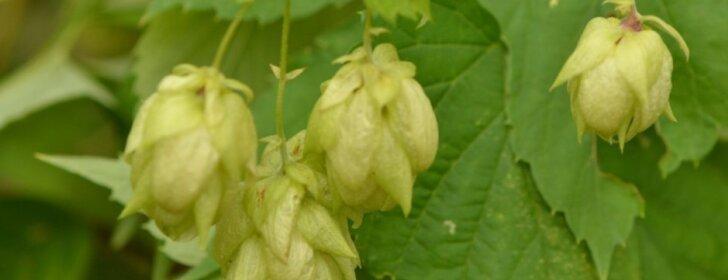 Augalas, kuris naudingas ir sveikatai, ir grožiui