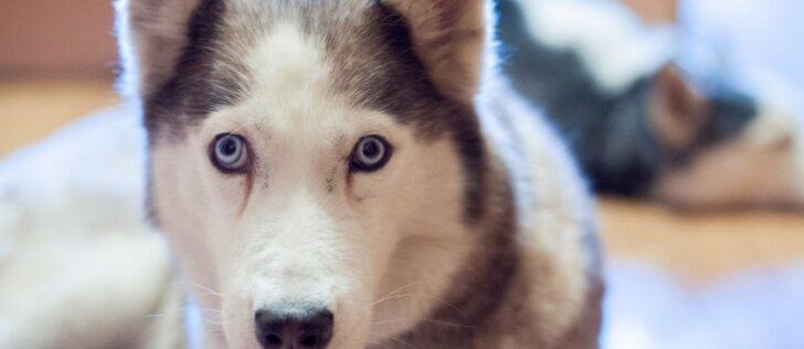 Šunis kamuojanti liga: kaip ją gydyti? (III dalis)