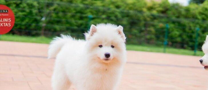 Samojedai – ypatingi šunys, kurie gali padėti vaikams
