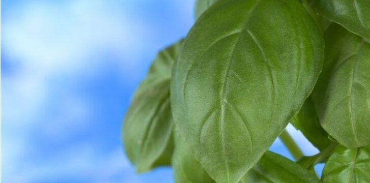 Prieskoniai, kuriuos naudinga auginti ant palangės