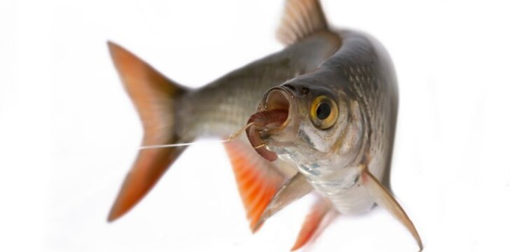 Jūroje ir kituose vandens telkiniuose gyvenančios žuvys, misdamos gali užsikrėsti lervomis