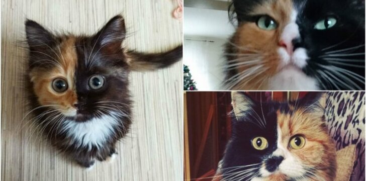 Dviveidės katės