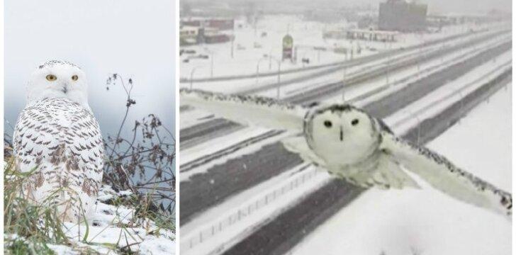 Baltoji pelėda (kairėje - M. Čepulio nuotr., dešinėje - stopkadras)