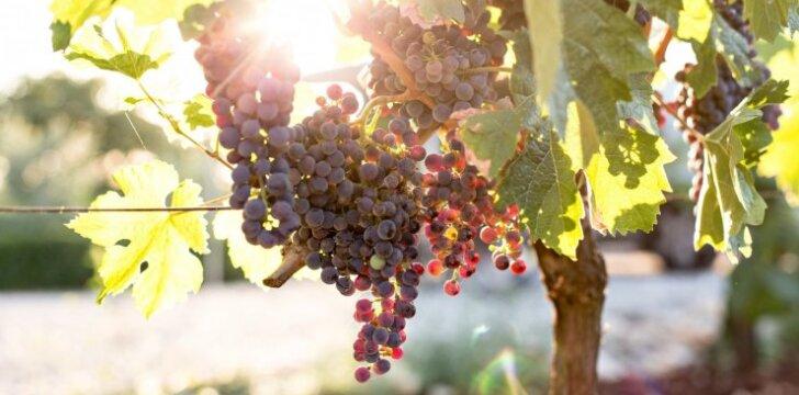 Vynmedžių paruošimas kitų metų derliui: pagrindiniai žingsniai