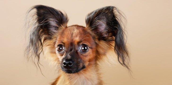 """Kaunietis apstulbo: pirko grynaveislį šunį – <span style=""""color: #c00000;"""">išaugo mišrūnas</span>"""