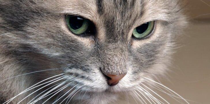 Kodėl negalima žiūrėti katei į akis