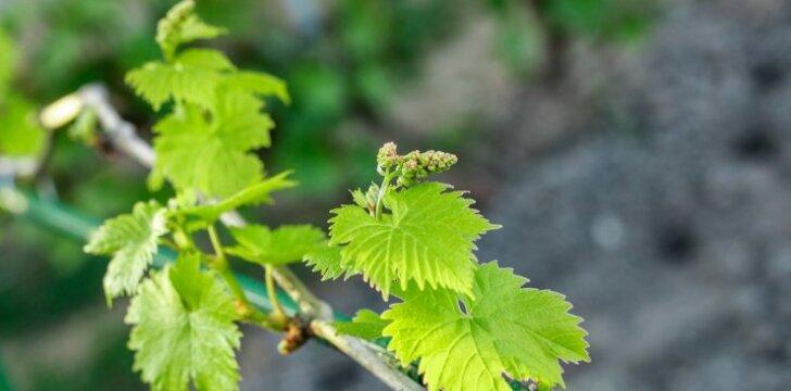 Vynmedžių priežiūra vėlyvą pavasarį ir birželį