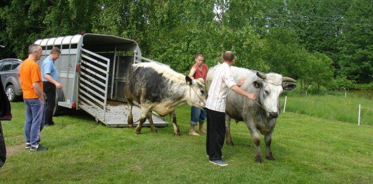 Šiuo metu ūkyje įsikūrę buliukai / Vedų kultūros centro nuotr.