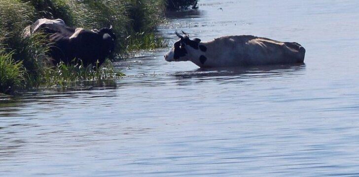 Gyvulius vesti į vandenį draudžiama