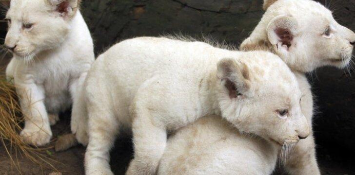 Retas baltas liūtukas gimė cirke