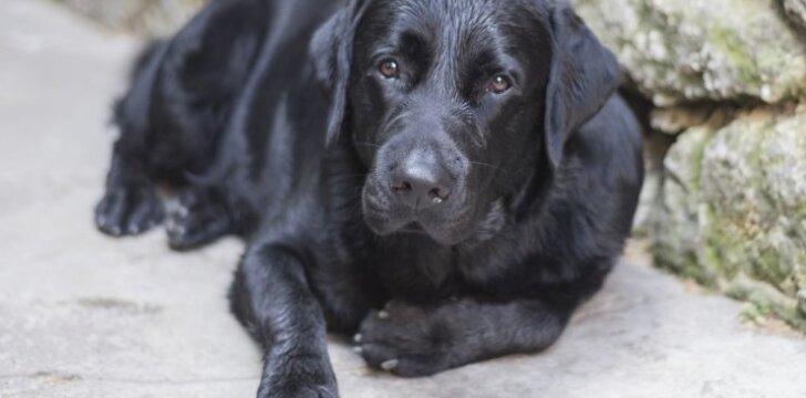 Labradoras