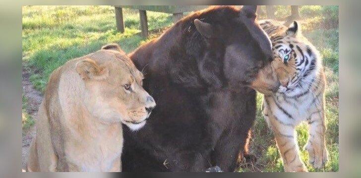 Liūto, tigro ir lokio draugystė