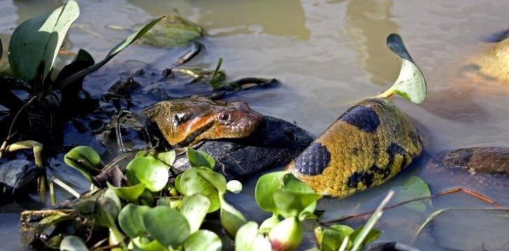 Žalioji anakonda Amazonėje ryja savo auką (asociatyvi nuotr.)