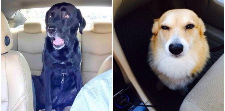 Šunų, vežamų pas veterinarą, reakcijos