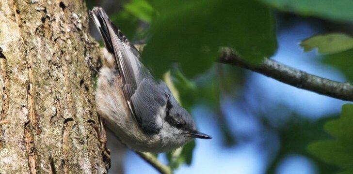 Bukutis - vienas iš žiemojančių paukštelių, kuriems gyvenvietėje įrengti inkilai