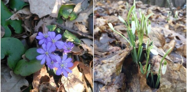 Pavasario pranašės