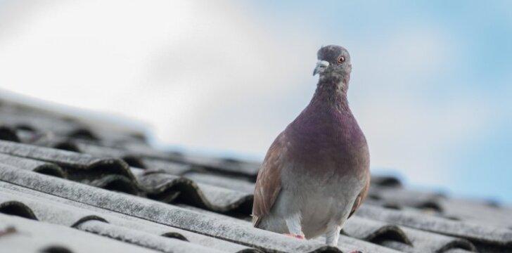 Kada paukščiai tampa kenkėjais?