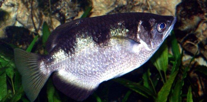 Žuvys spjaudalės
