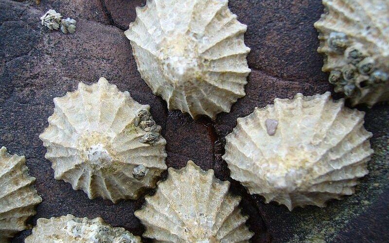 moliuskai