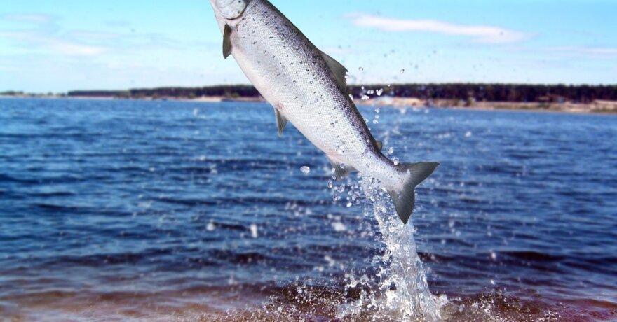 lašišinės žuvys