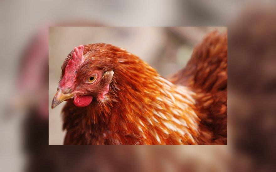 Panevėžio rajone – nugaišusių viščiukų kalnas
