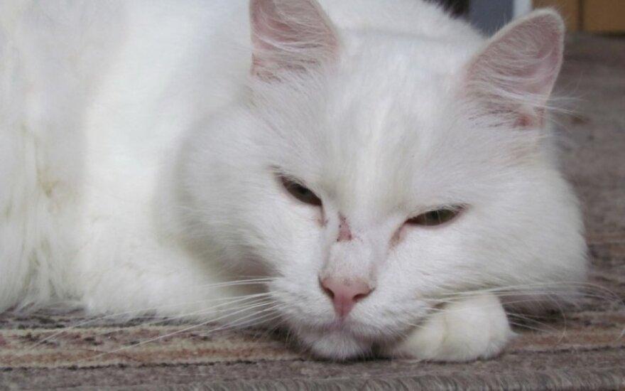 Meilus, didelis, baltas katinas Šarlis ieško namų