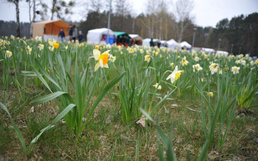 Narcizų žydėjimo šventė nesudomino nei kurorto svečių, nei druskininkiečių