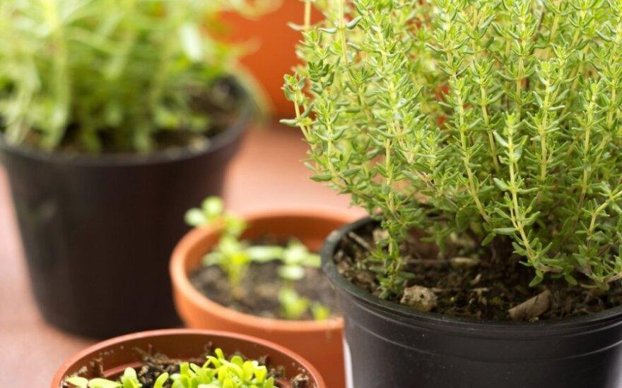 Žalioji palangė: auginame prieskonius