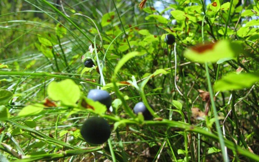 Mėlynių derlius – rekordinis, o spanguolių – prastas