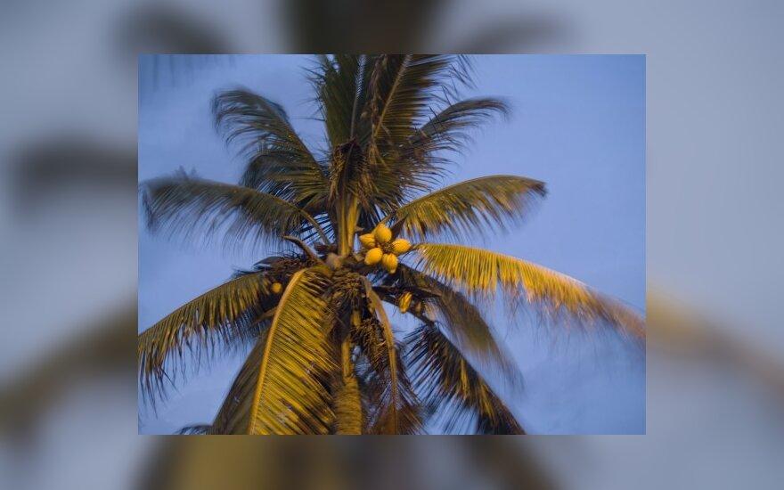 Kokoso palmė