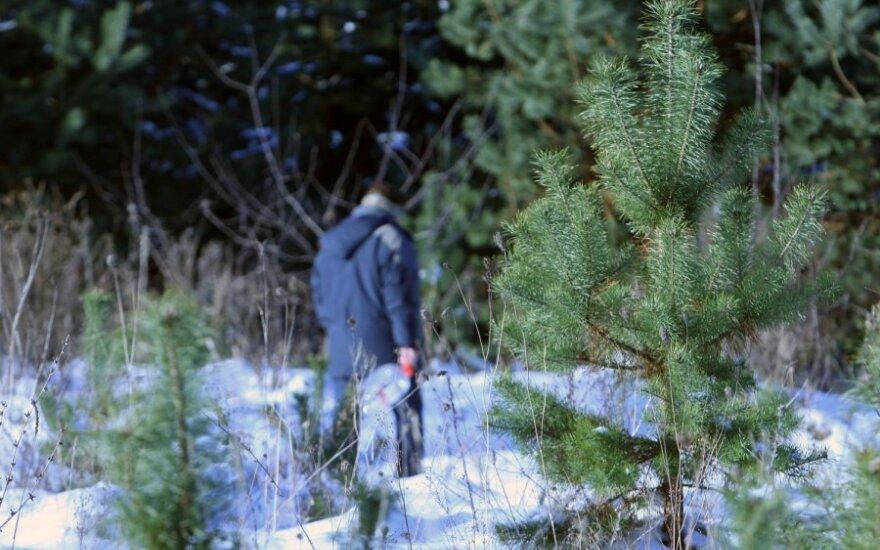 Už nelegaliai nukirstą eglutę Kalėdoms - didžiulė bauda
