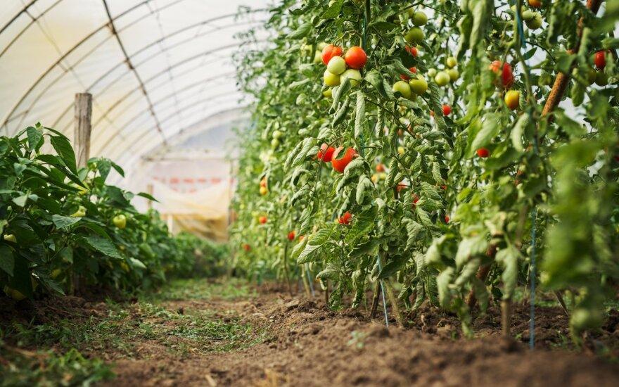 Būtiniausi šiltnamio darbai, kad džiugintų gausus pomidorų ir agurkų derlius