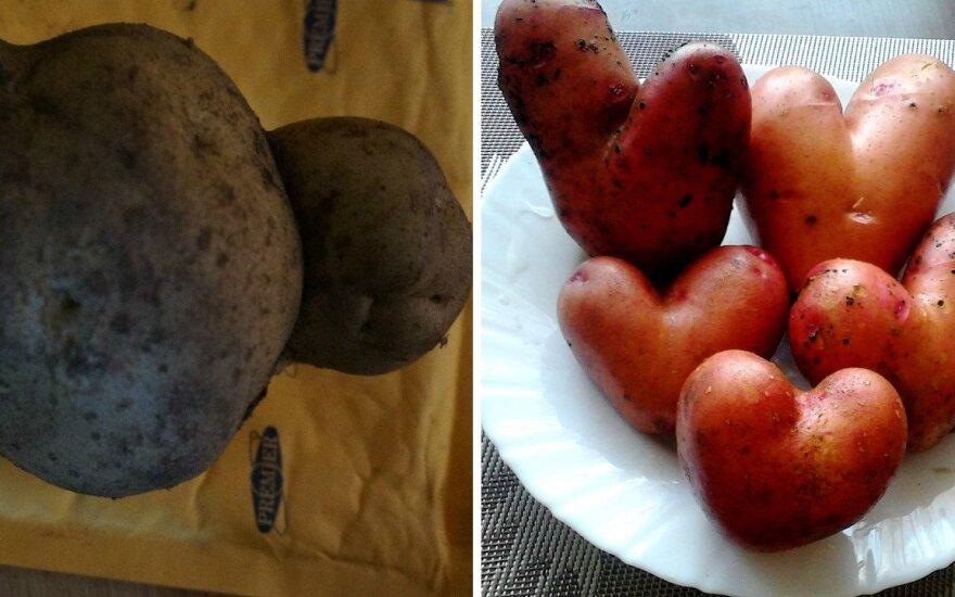 Bulviakasis atnešė netikėtumų: ūkininkai stebisi keistais augalais